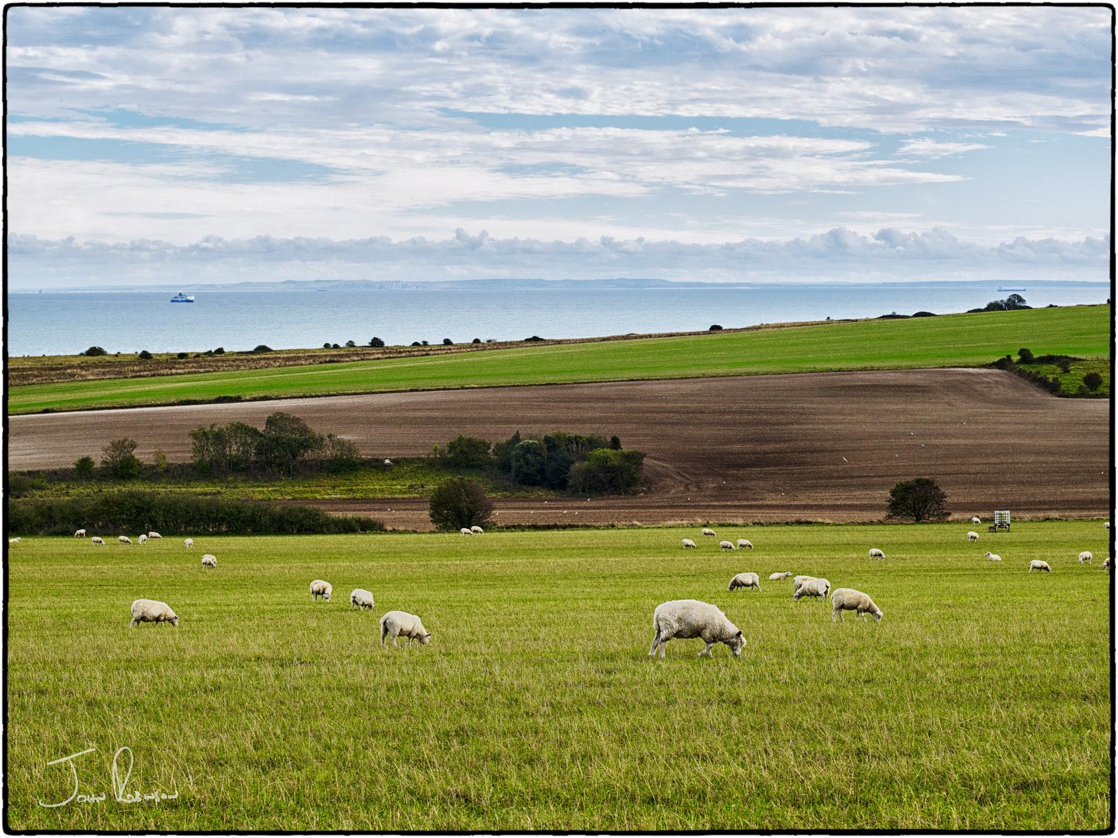 Sheep at Bockhill Farm, North Downs, Kent