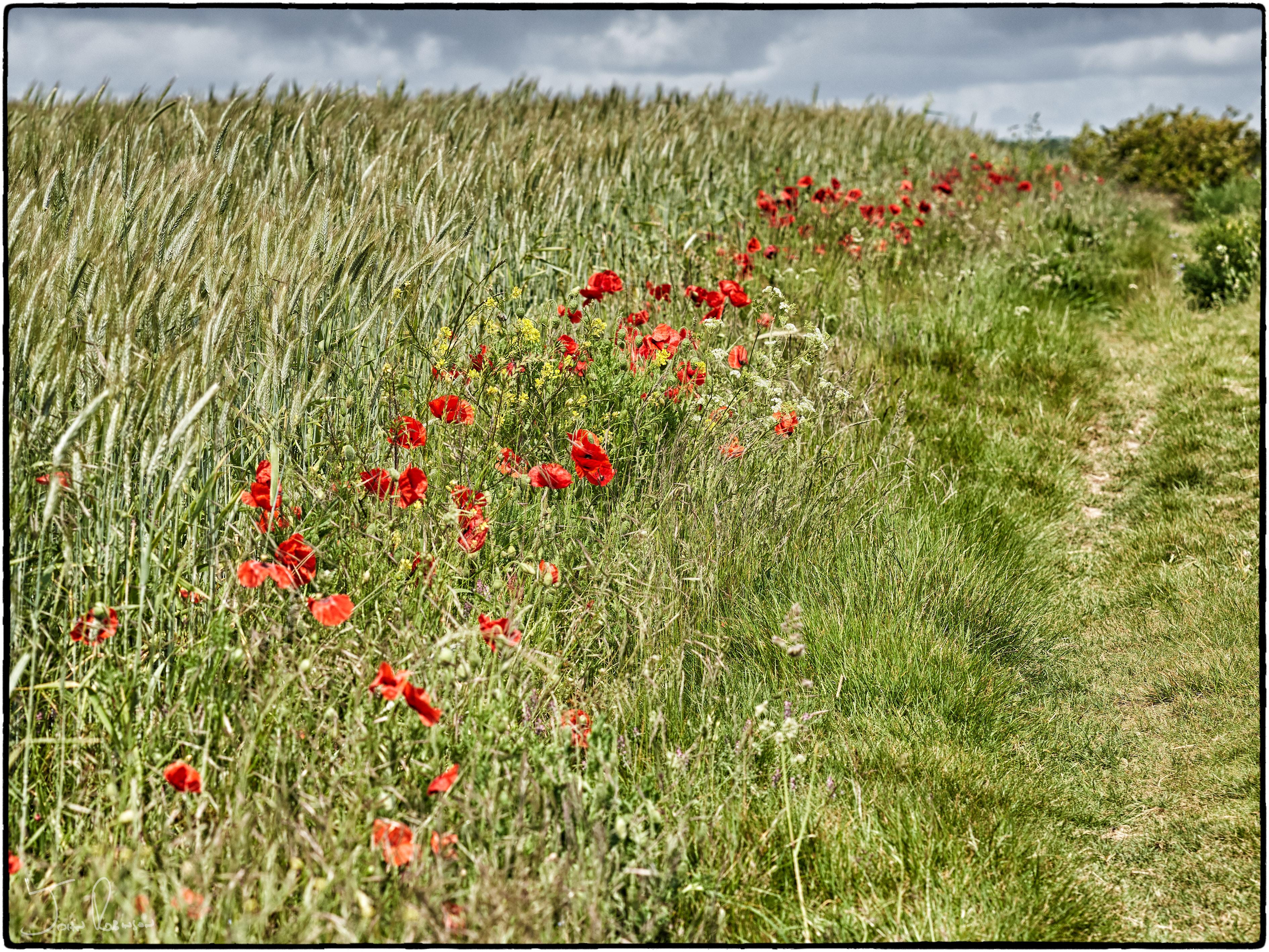 Kent poppies