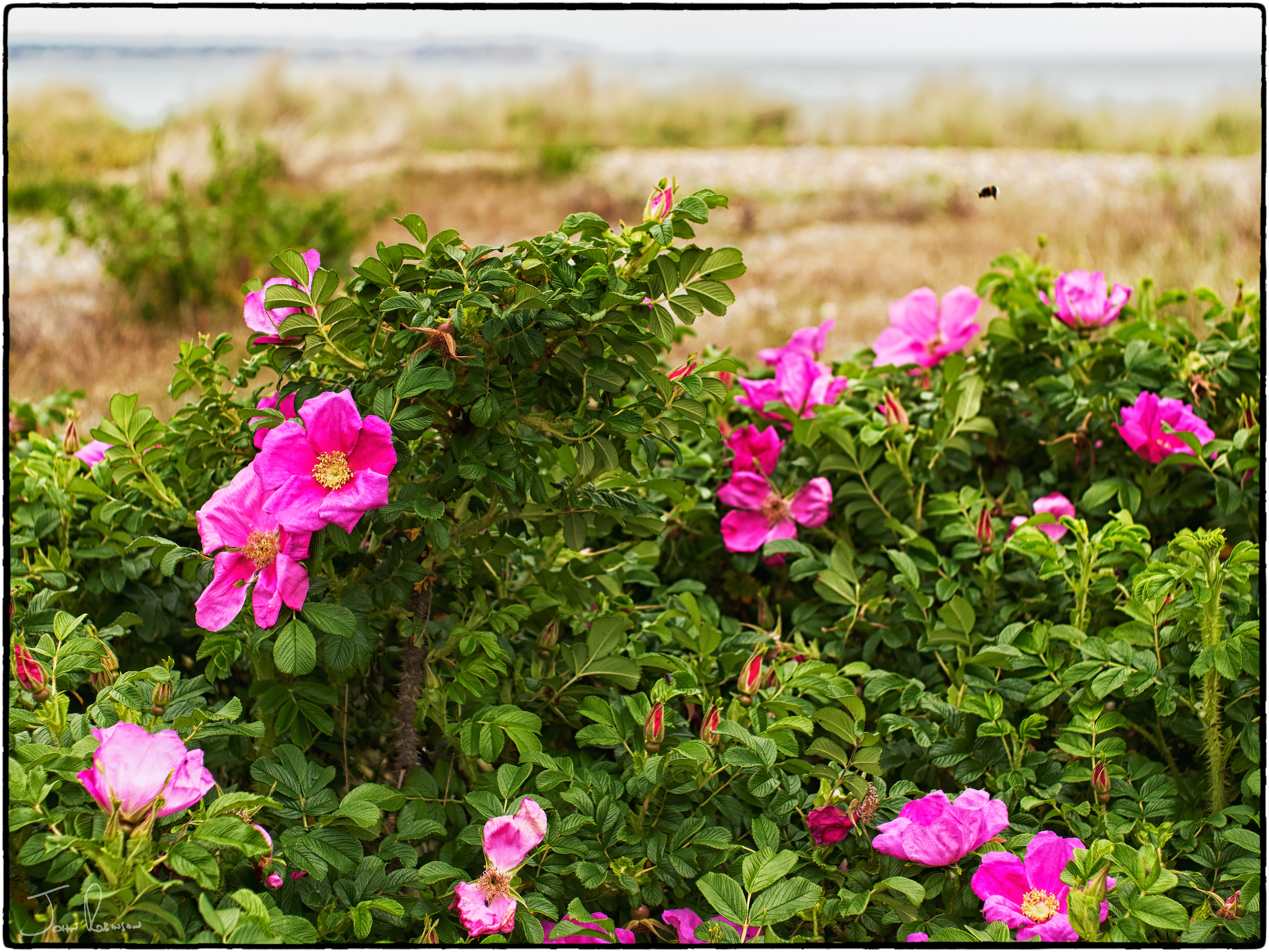 Wild roses with bee, Sandwich Bay, Kent