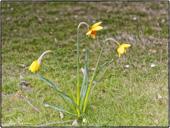 Summer Daffodils